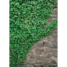Komar 4-324 Ivy